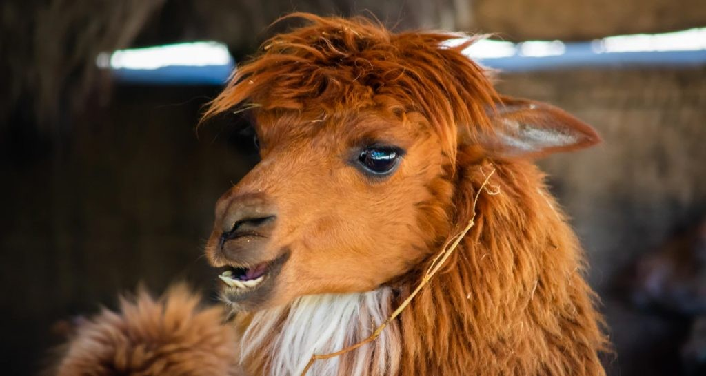 Alpaca wool can be found in sustainable mattresses